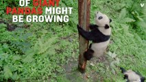 Giant Pandas May Return To Endangered Species List
