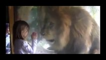 Ce lion n'aime pas les bisous... Mais il aime bien les fillettes! Miam