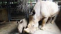 [Actualité] Présentation d'un bébé rhinocéros blanc au zoo de Singapour