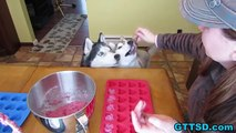 Red Velvet PUPCAKES Homemade Valentines Dog Treats DIY | Snacks with the Snow Dogs 22