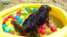 Chiens drôles jouer au ballon dans la piscine Compilation new