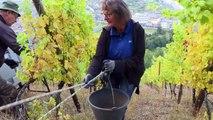 [Actualité] En Alsace, des vendanges en rappel pour un pinot gris grand cru