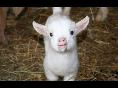 Baby Goats – Funny And Cute Baby Goats Compilation BEST OF