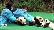 Ces pandas ne tiennent vraiment pas en place