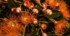 Time-Lapse Shows Native Australian Flowers Blossoming at Eve of Spring