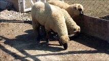 oveja del parque pedro de valdivia la serena