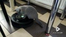 Ce chat se demande bien pourquoi il bouge tout seul... assis sur cet aspirateur automatique Roomba