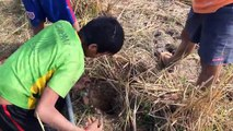 How To Find And Catch Crabs In Hole - Digging Crab Hole In Rice Field