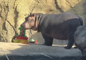 Fiona Celebrates Her First Birthday With Cincinnati Zoo Pals