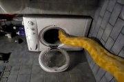 Sieste d'un ENORME serpent dans le lave-linge.. et ça les fait rire !