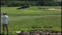 The biggest giant Gator alligator -Crocodile- Walks Across Golf Course in Florida