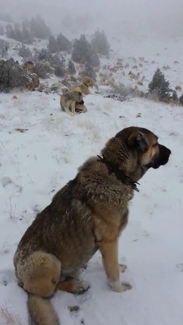 SiVAS KANGAL KOPEGi KURT NOBETiNDE - SiVAS KANGAL DOG WOLF WATCH