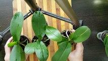 Подростки Сортовых Орхидей
