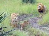 Ces bébés lions qui essaient de rugir comme papa sont adorables