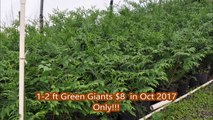 HHFarm Sale on 1 Gal Green Giants   Just $8 in Oct 2017      1-2 ft tall plants   Lots of trees available