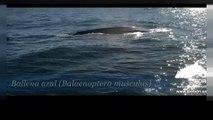 Blauwale vor der Küste Spaniens verblüffen Forscher
