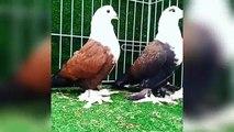 Best breeding fancy pigeons loft cages & breeding pigeons feeding ( birds videos)