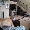 Vous vous êtes déjà demandés ce que fait un chien quand il est seul? Voici, une petite idée