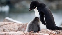 Thousands Of Penguins Dead In Antarctica