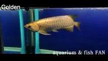 12 Types of ikan arowana fish information and names