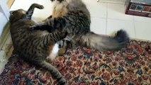 Bataille entre deux gros chats paresseuse - Catégorie poid lourde