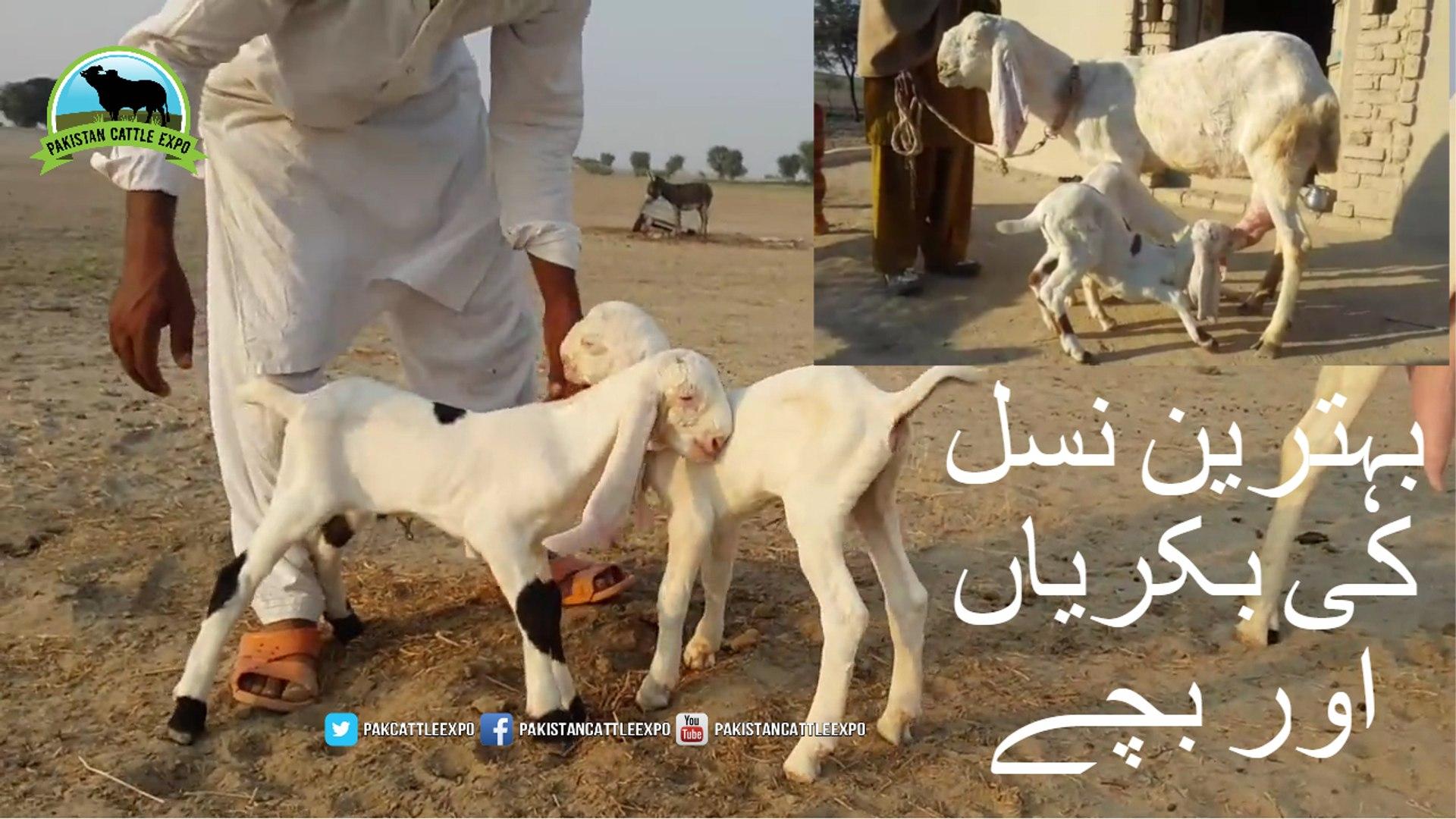 683 || Goat Farming in Pakistan || Goat Breeds of Pakistan || Rajan Puri &  Makhi Goats