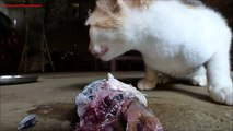 Cats eating fish with loud crunching sounds - cats destroying fish with strong jaws and teeth!