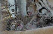 Naissance de quatre bébés tigres au Cirque de Venise, à Carcassonne