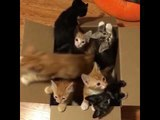Adorable Foster Kittens Love Playing in Their Box