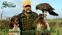 Hari Herak & Falconery - Hunting pheasants with goshawk