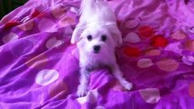 Bichon Maltese - Barking like Crazy