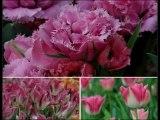 Le monde des Tulipes