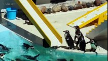 FUNNY PENGUINS ★ BEST Funny & Clumsy Penguins [Funny Pets]