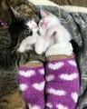 Une maman chat fait une sieste avec ses 2 petits chatons