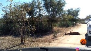 Cheetah Kills Impala That It Chased Into Car - Latest Sightings Pty Ltd