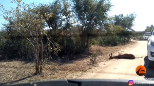 Cheetah Kills Impala That It Chased Into Car - Latest Sightings Pty Ltd