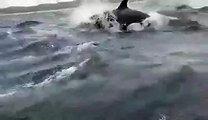 Orcas Hunt Humpback Whales Alongside Delighted Tourists