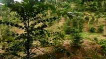 Cambio climático amenaza cultivos de café en Latinoamérica