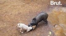 Des combats à mort entre chiens et sangliers, une tradition thaïlandaise