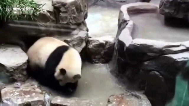 Giant panda washes itself