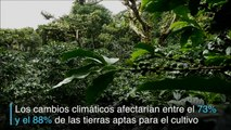 Cambio climático amenaza áreas de cultivo de café