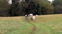 Goats and Their Canine Companions Walk in Beautiful Line Through Farm