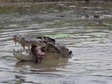 Saltwater Crocodiles Feast on Cow in Northern Australia's Mary River