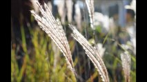 Ornamental Grasses        Where they grow