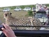 Un guépard sauvage grimpe sur le 4x4 de touristes en plein safari : Moment à fois magique et terrifiant