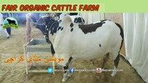 721 || Cow mandi 2018/2019 Karachi Sohrab Goth || Fair Organic Cattle Farm || Bull Qurbani