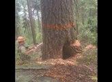 La belle frayeur d'un bûcheron qui coupe un arbre pourri !