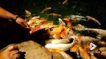 Ces poissons affamés assaillent la main de ce touristes !