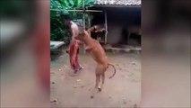Cette vache sans pattes avant marche debout sur ses pattes arrières!