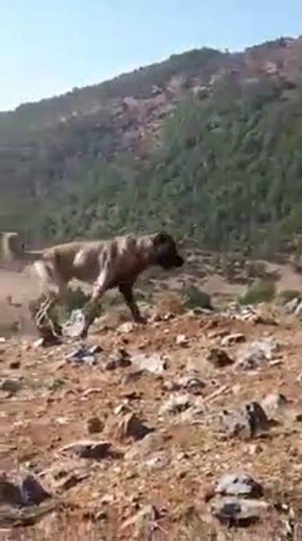 SiVAS KANGAL KOPEKLERi KOYUN VE DAG EMNiYETi - SiVAS KANGAL DOGS and SHEEP WATCH